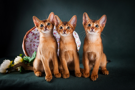group of abyssinian cats on dark green background.
