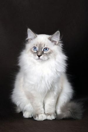 Neva masquerade kitten on dark brown background.