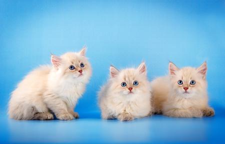 Three Neva masquerade kittens on blue background.