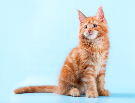 portrait of maine coon cat on blue background.