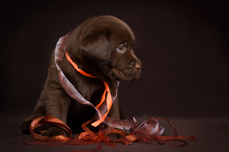 Chocolate labrador puppy sitting on a brown background.