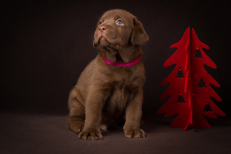 Chocolate labrador puppy sitting on brown background near the red Christmas tree. Stock Photo