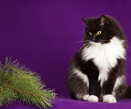 Black and white fluffy cat sitting on a purple background.