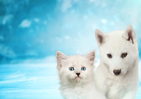 Cat and dog together, neva masquerade kitty, siberian husky puppy look straight forward on blue snowy background