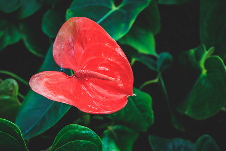 Close up of fresh red flamingo flower Anthurium andraeanum surrounded by green blurry leaves