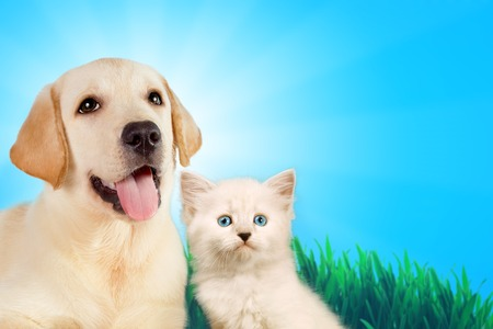 Cat and dog together, neva masquerade kitten, golden retriever looks at right on grass, spring concept.
