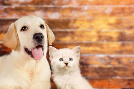 Cat and dog together, neva masquerade kitten, golden retriever looks at right on wooden blurry background with copy space