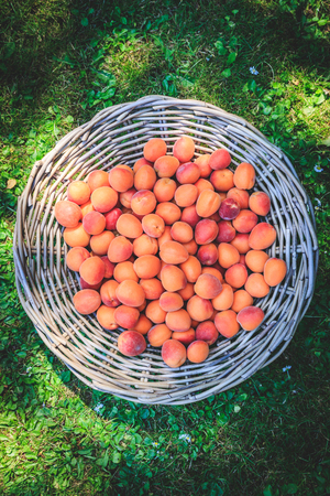 Ripe apricots in a wicker basket on green grass, top view, isolated