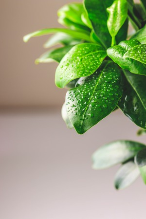 Close up view of fresh leaves of Ficus microcarpa ginseng with water drops. Stylish and simple plants for modern desk.