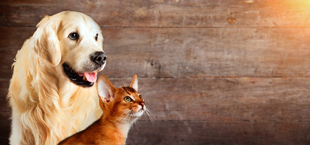 Cat and dog, abyssinian cat, golden retriever together on natural wooden background