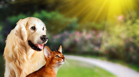 Dog and cat together on grass, summer concept. Abyssinian cat, golden retriever together