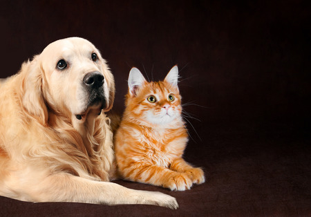 Cat and dog, siberian kitten and golden retriever looks at right. Stock Photo