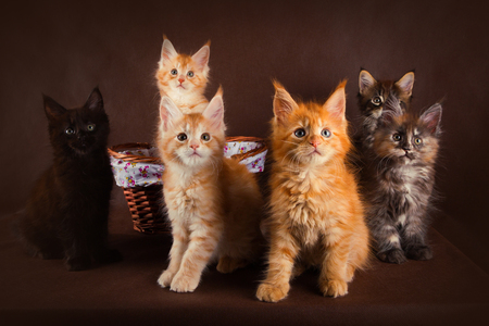 Group of fluffy beautiful maine coon kitties of different colors in front of brown background.