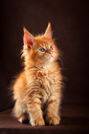 Fluffy beautiful ginger maine coon cat on black brown background.