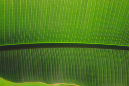 Closeup background of sunlight coming through green leaf. Rich texture, good for phone or desktop wallpapers. Calm natural mood.