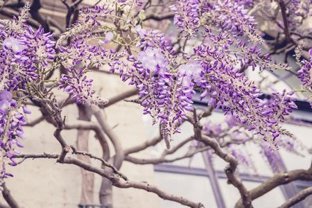 Wisteria tree in botanical garden.