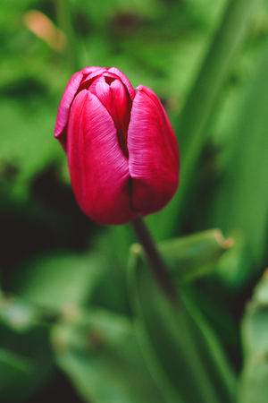 Tulipa, Tulips Close up portrait of beautiful flowers in botanical garden