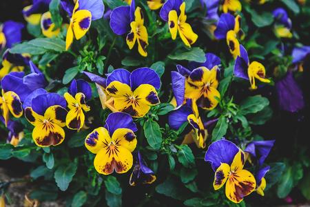 Violet viola, Close up portrait of beautiful flowers in botanical garden