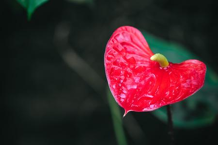 Anthurium, Close up portrait of beautiful flowers in botanical garden Reklamní fotografie