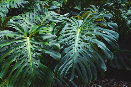 Green leaves of Monstera philodendron, plant growing in botanical garden, tropical forest plants, evergreen vines abstract background