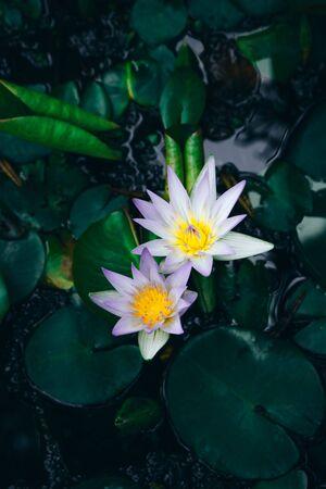 Water lilies Nymphaea beautiful flowers blooming in pond , dark moody stilization.