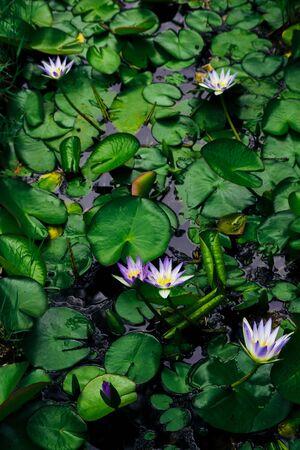 Water lilies Nymphaea beautiful flowers blooming in pond , dark moody stilization