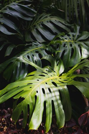 Green leaves of Monstera philodendron, plant growing in botanical garden, tropical forest plants, evergreen vines abstract background. Archivio Fotografico - 130134965