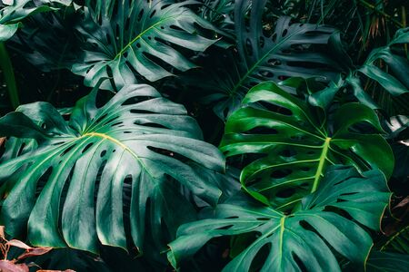 Green leaves of Monstera philodendron, plant growing in botanical garden, tropical forest plants, evergreen vines abstract background. Zdjęcie Seryjne