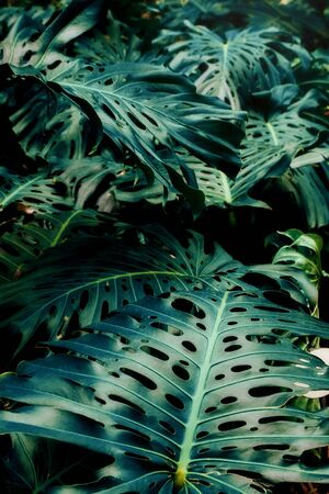 Green leaves of Monstera philodendron, plant growing in botanical garden, tropical forest plants, evergreen vines abstract background. Archivio Fotografico - 130134972