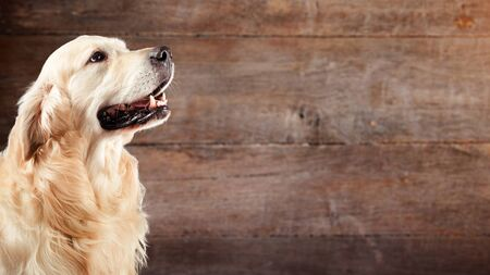 Dog golden retriever in front of natural wooden background Stock Photo - 135178532