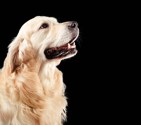 Dog golden retriever isolated on black Stock Photo - 135178555