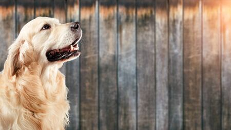 Dog golden retriever in front of natural wooden background Stock Photo