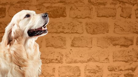 Dog golden retriever in front of brown brick wall Stock Photo - 135583520