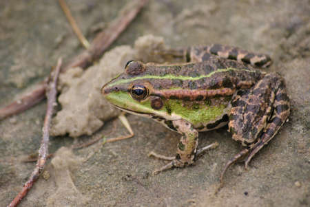 seaweeds: Large frog on the river bank Stock Photo