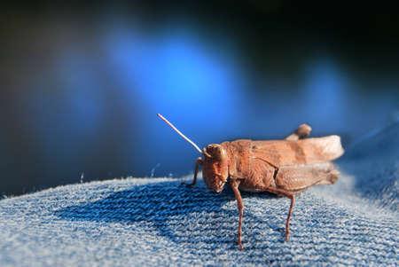 Grasshopper on a jeans background Stock Photo