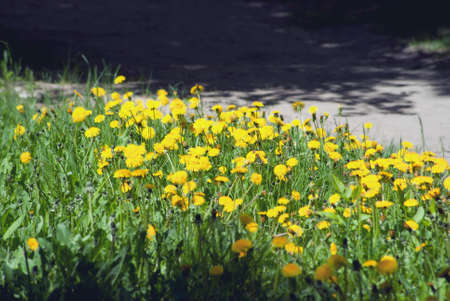 Bright yellow blooming dandelions in May. Stock Photo