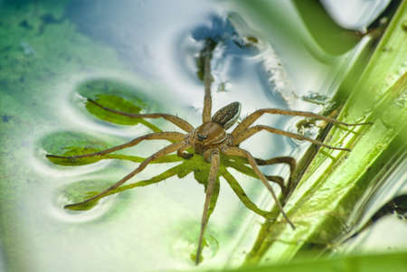 Large water spider Dolomedes plantarius, close-up in a natural environment. Raft spider.