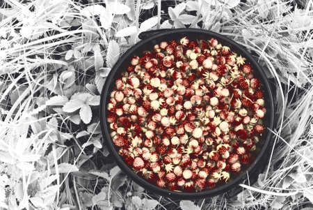 Bucket of collected wild strawberries in the forest and in the fields of Russia