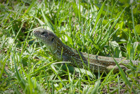 Portrait of a big green lizard hunting and hiding in a thicket of green grass close up macro.