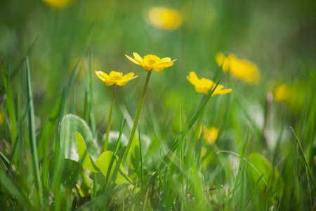 Field yellow flowers blossoming in the spring against a background of fresh green grass in the water meadows. Standard-Bild