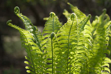 A bush of a young beautiful green fern in the gentle rays of spring sunlight close-up Stok Fotoğraf