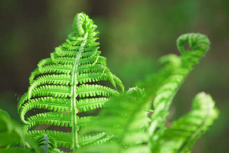 A bush of a young beautiful green fern in the gentle rays of spring sunlight close-up Stock fotó