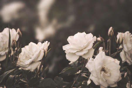 Beautiful bush flowers, white garden roses in the evening light on a dark background for the calendar.