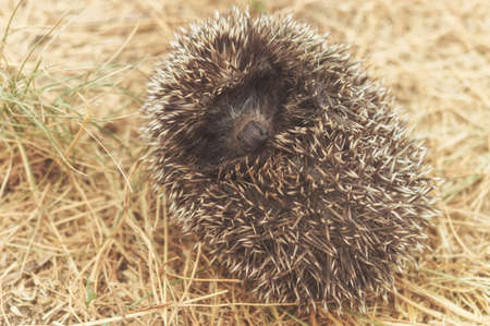 Small cute hedgehog walking on a meadow in the summer grass closeup.