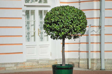 Round lonely decorative tree in a pot on the street in the background of the house. Stok Fotoğraf