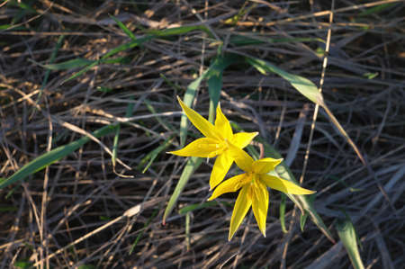 Tulipa scythica sylvestris. Yellow rare meadow flower tulip blossoms in april. Disappearing plants from Red book