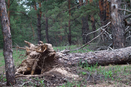 Hurricane uprooted tree in the forest. Fallen big pine