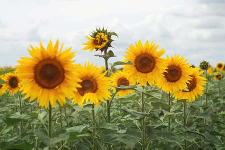 Sunflower field. Beautiful evening view of the cloudy horizon. Scenic countryside view 스톡 콘텐츠