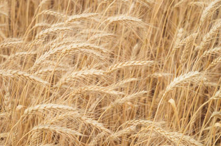 Ears of wheat in the sunlight on the agricultural field close-up