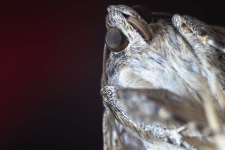 Night butterfly moth close-up on a colored dark red blurred background. Macro photo Catocala sponsa